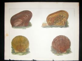 Japan Perry Expedition 1856 Antique Hand Col Print. Shells 3